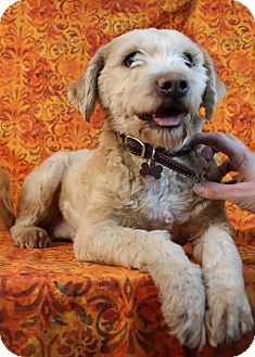 wheaten terrier rescue colorado bonnie adopted dog westminster co wheaten terrier 4093