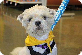 Shih Tzu Mix Dog for adoption in Baton Rouge, Louisiana - Bentley