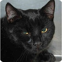 Domestic Shorthair Cat for adoption in Lutherville, Maryland - Jay