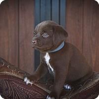 Adopt A Pet :: Benjamin Blue - Russellville, KY