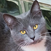 Russian Blue Cat for adoption in Chicago, Illinois - Jack