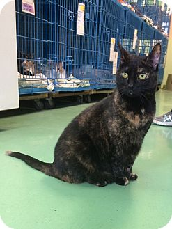 Domestic Shorthair Cat for adoption in New York, New York - Tia