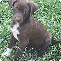 Adopt A Pet :: Choco - Plainfield, CT