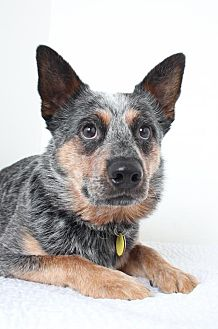 Australian Cattle Dog Dog for adoption in Edina, Minnesota - Argo *Deaf* D151128