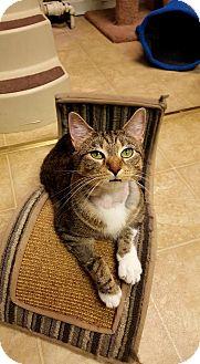 Domestic Shorthair Cat for adoption in St. Charles, Missouri - Lori