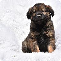Adopt A Pet :: Shane - Groton, MA