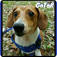 Adopt A Pet :: Gator - Green Cove Springs, FL