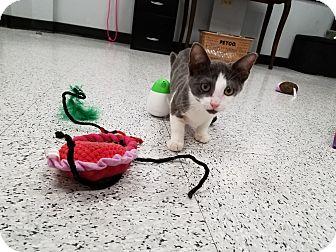 Domestic Shorthair Kitten for adoption in Pasadena, California - mena