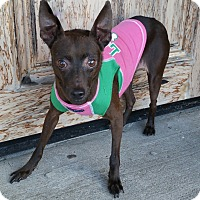 Miniature Pinscher Mix Dog for adoption in Bridgeton, Missouri - May