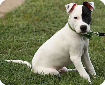Pit Bull Terrier Mix Puppy for adoption in Evansville, Indiana - Reuben
