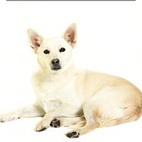 Chihuahua/Pug Mix Dog for adoption in Troy, Virginia - Dobbin/buttercup