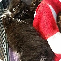 Domestic Shorthair Cat for adoption in Freeport, New York - Jesse