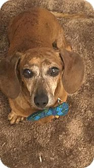 Dachshund Mix Dog for adoption in Sunnyvale, California - Ollie