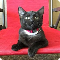 Domestic Mediumhair Kitten for adoption in Wichita, Kansas - Shiloh