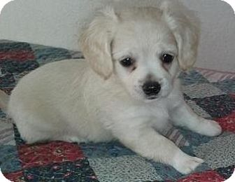 Jack Russell Terrier/Beagle Mix Puppy for adoption in Gilbert, Arizona - Lucy