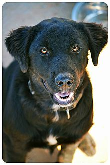 Flat-Coated Retriever/Newfoundland Mix Puppy for adoption in GREENLAWN, New York - BEnson