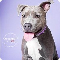 Pit Bull Terrier Mix Dog for adoption in Apache Junction, Arizona - Sapphire