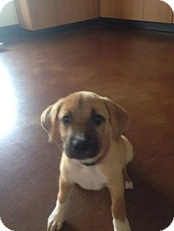 Black Mouth Cur/American Staffordshire Terrier Mix Puppy for adoption in Jacksonville, Texas - McKinley