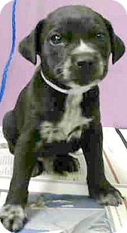 Labrador Retriever/Border Collie Mix Puppy for adoption in Boulder, Colorado - Milan-Adoption Pending