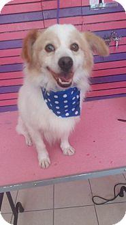 Spaniel (Unknown Type)/Corgi Mix Dog for adoption in Long Beach, California - Kevin