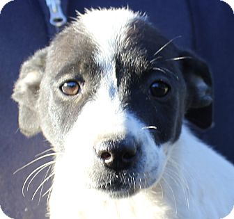 Retriever (Unknown Type)/Boxer Mix Puppy for adoption in Colonial Heights, Virginia - Twinkle