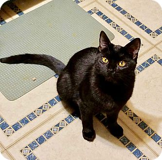 Domestic Shorthair Kitten for adoption in Colmar, Pennsylvania - Eknox