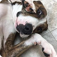 Adopt A Pet :: Abby - Urbana, OH