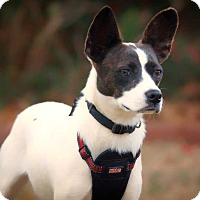 Jack Russell Terrier Mix Dog for adoption in Barnesville, Georgia - Krona