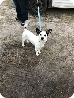 Wirehaired Fox Terrier Mix Dog for adoption in Glen St Mary, Florida - Duke
