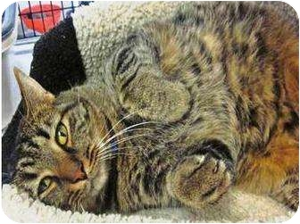 Domestic Shorthair Cat for adoption in Warren, Ohio - Winston