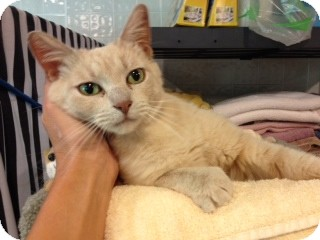 Domestic Shorthair Cat for adoption in Byron Center, Michigan - Trista