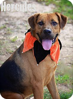 German Shepherd Dog/Mastiff Mix Dog for adoption in Albany, New York - Hercules