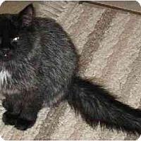 Domestic Longhair Cat for adoption in Stanhope, New Jersey - Fluffy