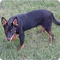Adopt A Pet :: Blitz - Phoenix, AZ