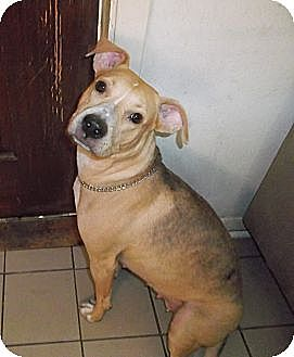 Labrador Retriever/Terrier (Unknown Type, Medium) Mix Dog for adoption in Miami, Florida - Shelley