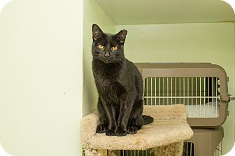 Domestic Shorthair Cat for adoption in Chicago, Illinois - Russell
