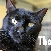 Adopt A Pet :: Thor - Wichita Falls, TX