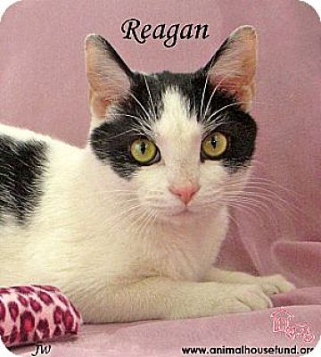 Domestic Shorthair Cat for adoption in St Louis, Missouri - Reagan