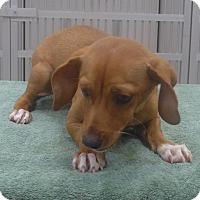 Adopt A Pet :: Ginger - Manning, SC
