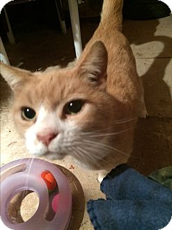Domestic Shorthair Cat for adoption in Dallas, Oregon - Sabre