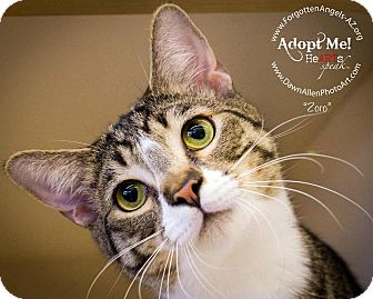 Domestic Shorthair Kitten for adoption in Mesa, Arizona - Zoro