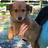 Adopt A Pet :: Landon- mom is purebred Golden - Pewaukee, WI
