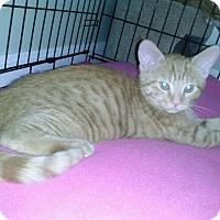 Domestic Shorthair Kitten for adoption in Warren, Michigan - Tigger