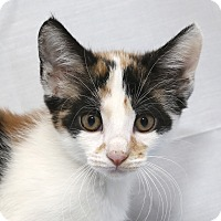 Calico Kitten for adoption in Yorba Linda, California - Jess