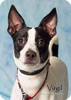 Jack Russell Terrier Mix Dog for adoption in Gilbert, Arizona - Virgil