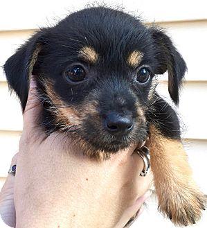 Rat Terrier Mix Puppy for adoption in Jasper, Tennessee - Alia