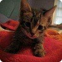 Adopt A Pet :: CATHERINE ZETA (LUPITA KITTEN) - Hampton, VA