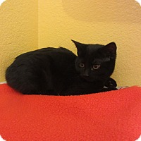 Adopt A Pet :: Puma - Ridgway, CO