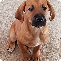 Beagle Mix Puppy for adoption in Denver, Colorado - Al