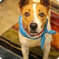 Adopt A Pet :: Spitfire - Flagstaff, AZ